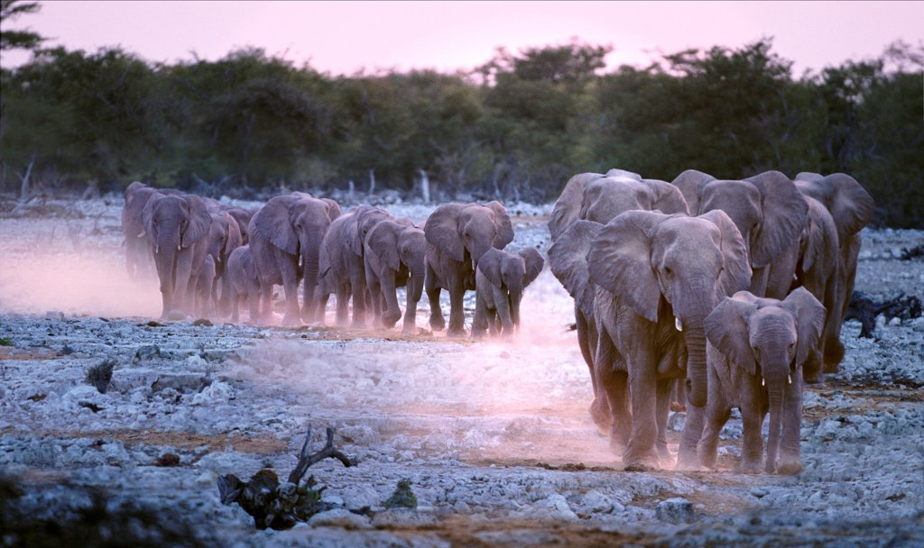 Stock Photo: 4402-1396 African elephant herd  walking down to the waterhole at dusk, Etosha National Park, Namibia