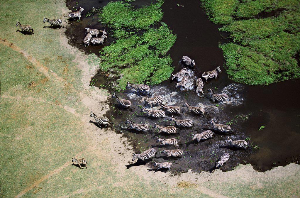 Stock Photo: 4402-1478 Aerial view of zebra herd disturbed at waterhole, Amboseli, Kenya