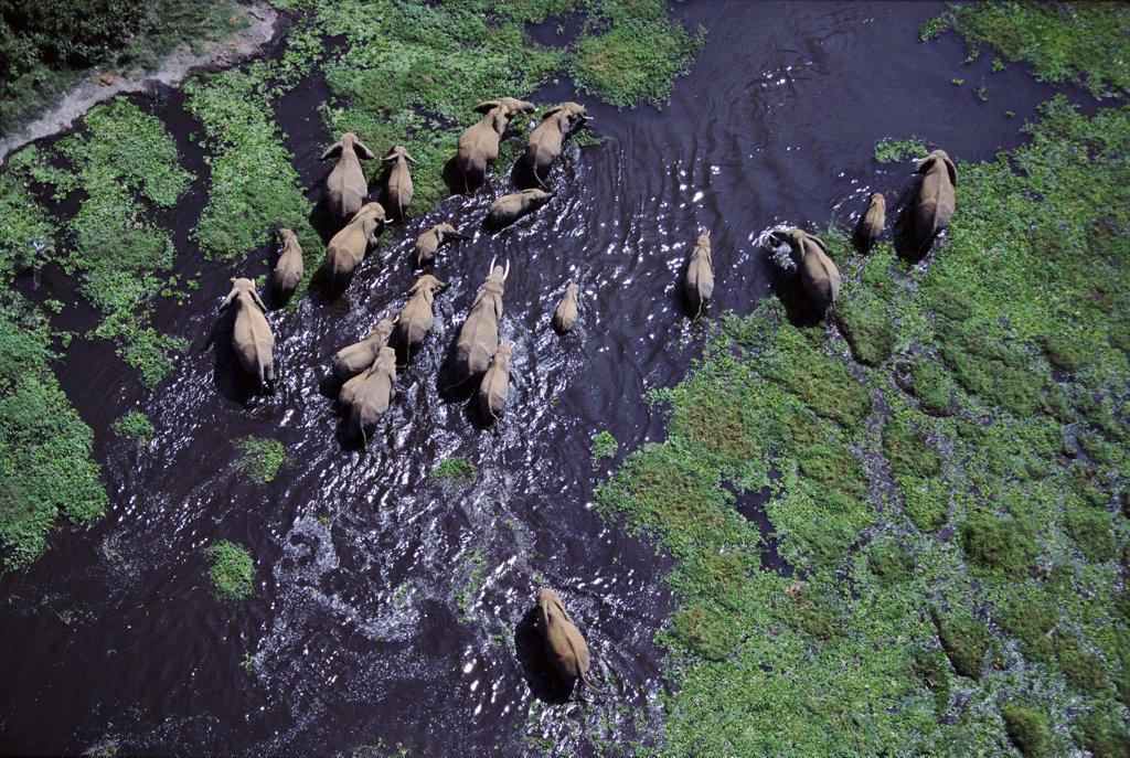 Aerial of African elephant herd in swamp, Amboseli National Park, Kenya : Stock Photo
