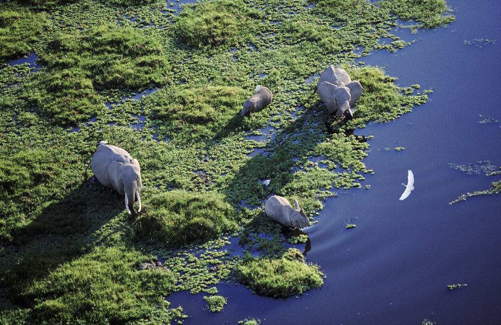 Stock Photo: 4402-1486 Aerial of African elephants in swamp, Amboseli National Park, Kenya