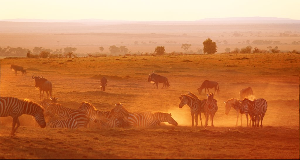 Zebra herd relaxing at sunset, Masai Mara, Kenya : Stock Photo