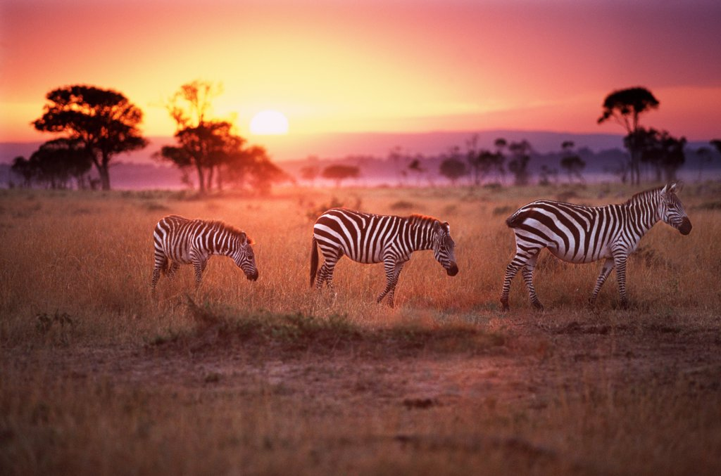 Zebras at dawn, Masai Mara, Kenya : Stock Photo