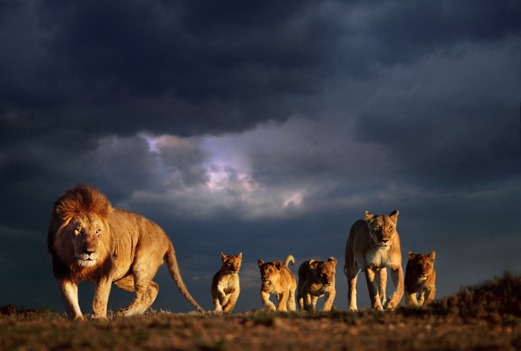 Stock Photo: 4402-1936 African lion family and stormy sky, Masai Mara, Kenya