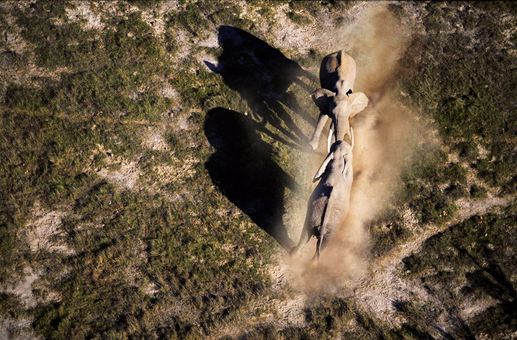 Aerial view of African elephants fighting, Amboseli National Park, Kenya : Stock Photo