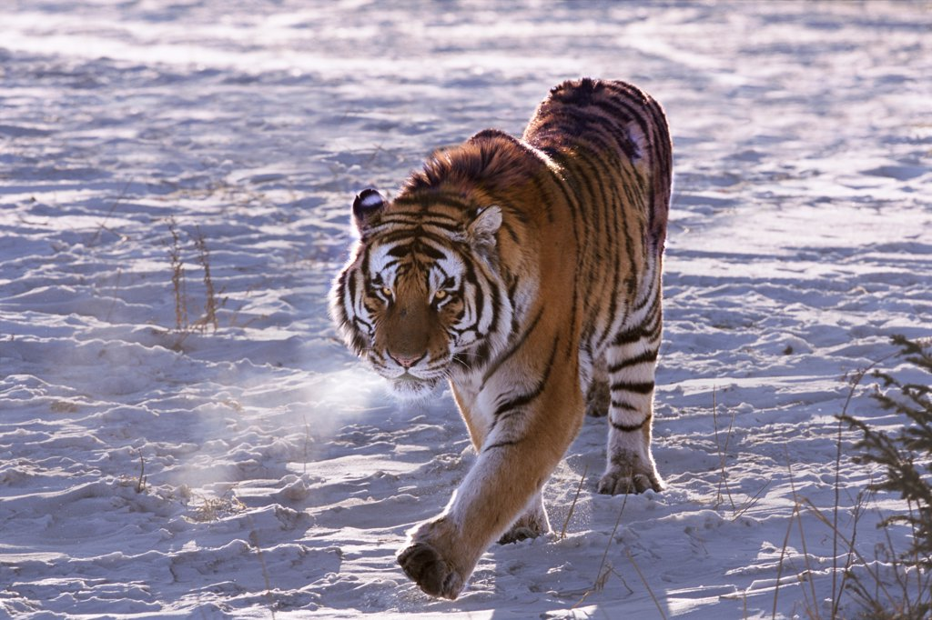 Stock Photo: 4402-2104 Siberian Tiger on the prowl, China