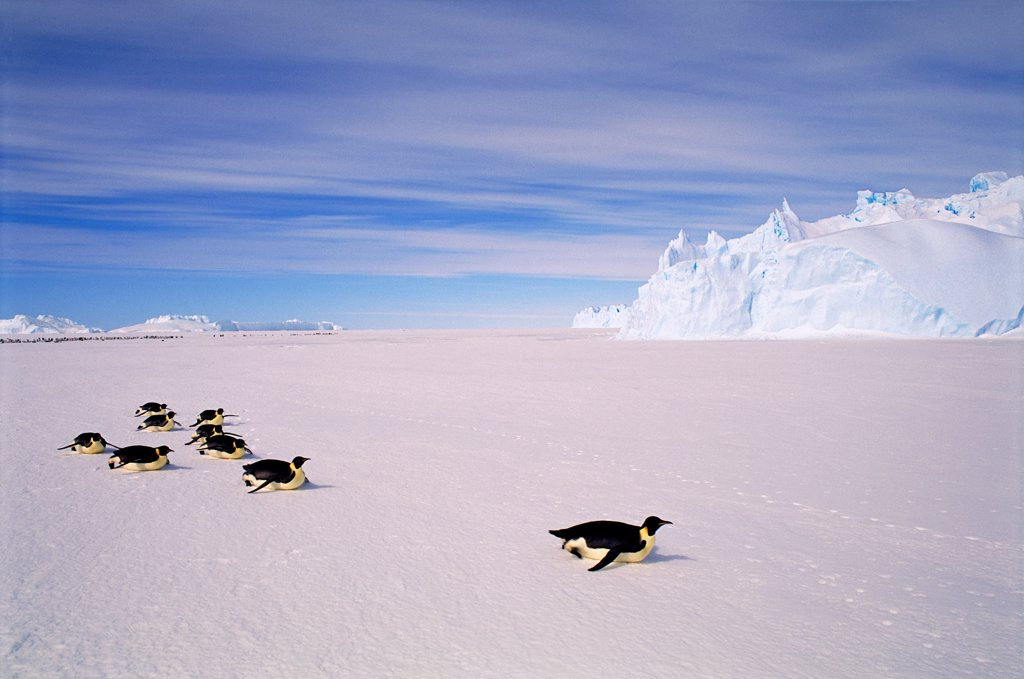 Stock Photo: 4402-2148 Emperor penguins toboganning,  Auster EP Rookery, Australian Antarctic Territory