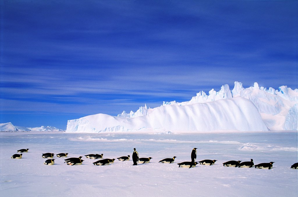 Emperor Penguins, Auster EP Rookery, Antarctica : Stock Photo