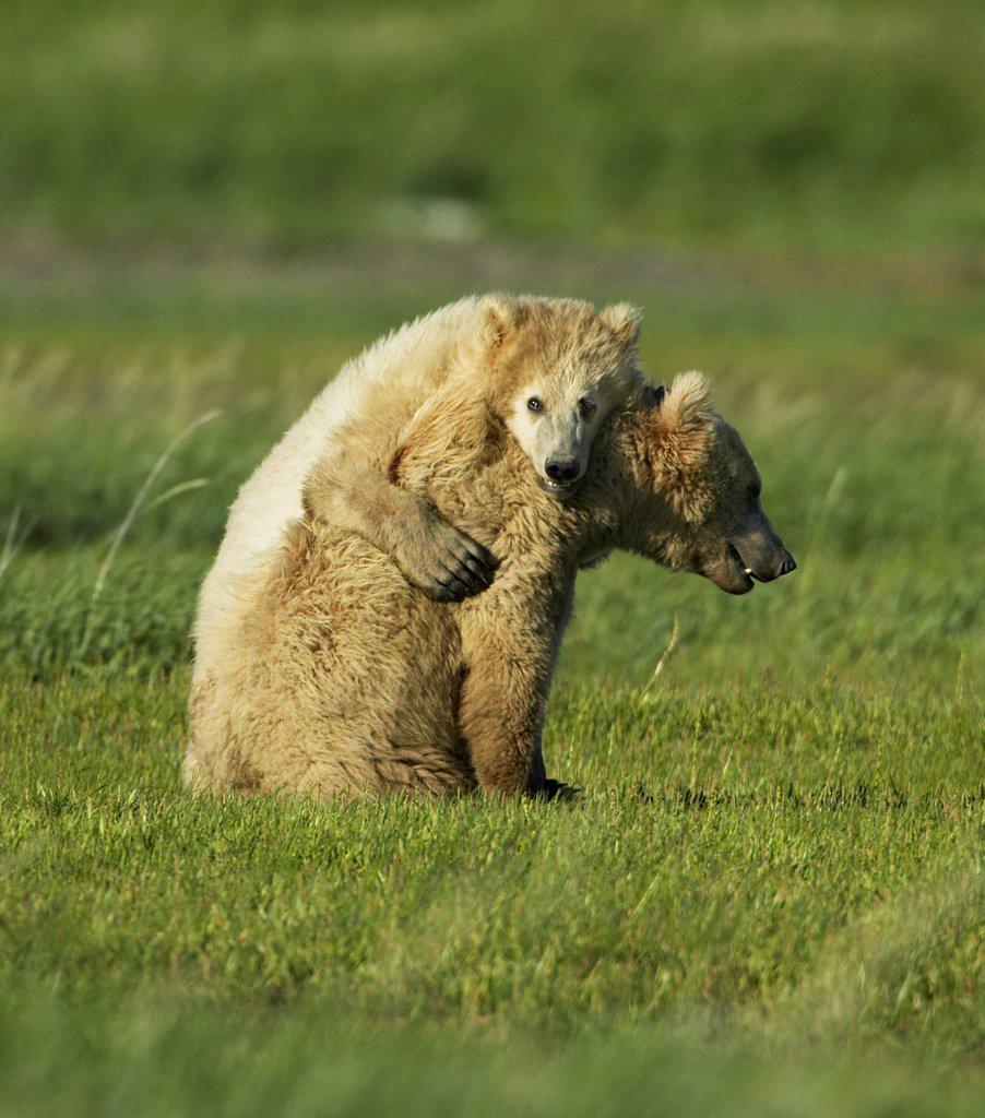 Stock Photo: 4402-2394 Brown Bear mother and cub, Katmai National Park, Alaska