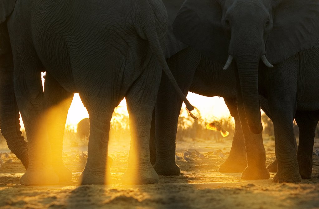 Stock Photo: 4402-3021 Close up of African elephants at sunrise, Savute, Botswana