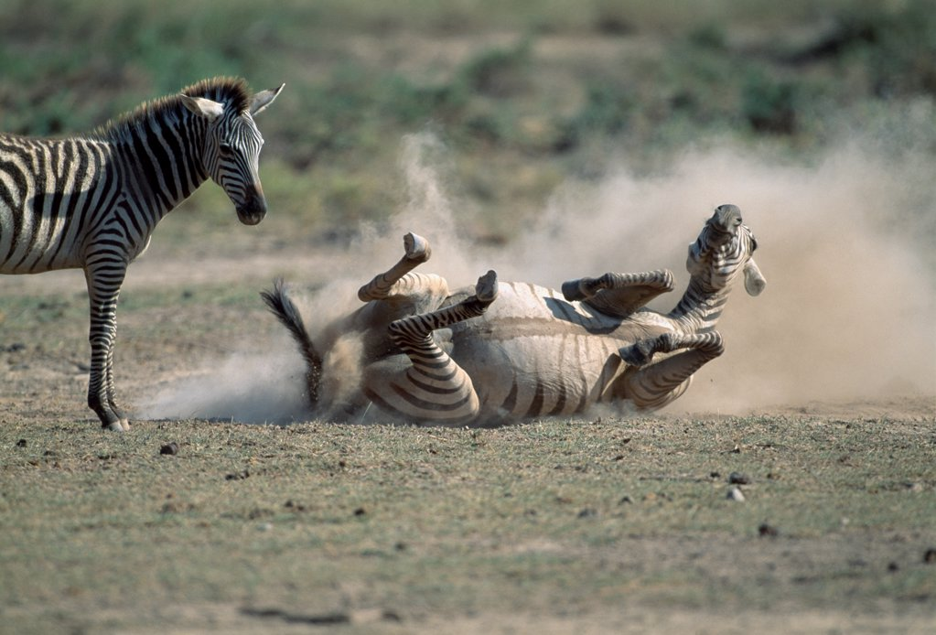 Stock Photo: 4402-3500 Zebra rolling in the dust, her calf looking on, Amboseli, Kenya