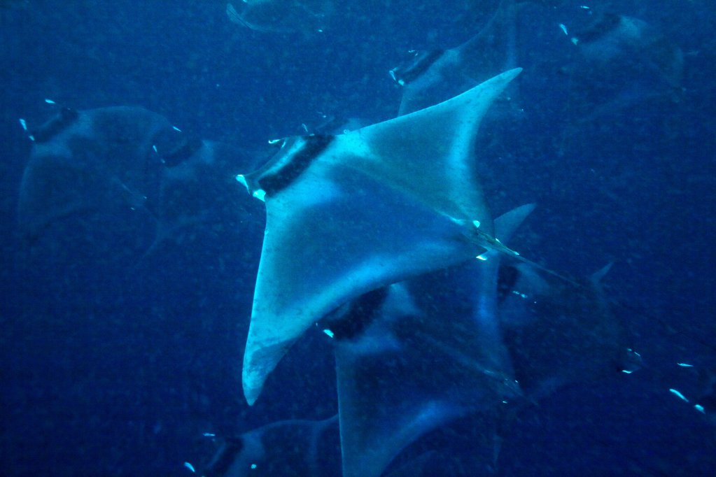 Stock Photo: 4402-3634 Manta rays, Puerto Princesa Bay, The Philippines