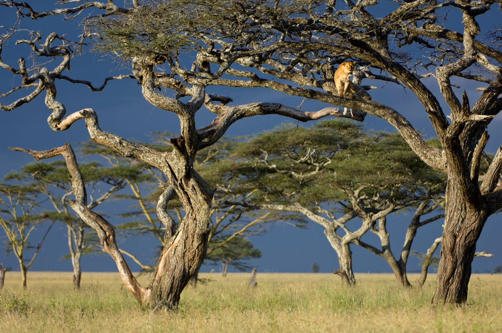 Stock Photo: 4402-4049 African Lioness using tree as a lookout, Nogorongoro Conservation Area, Serengeti National Park, Tanzania.