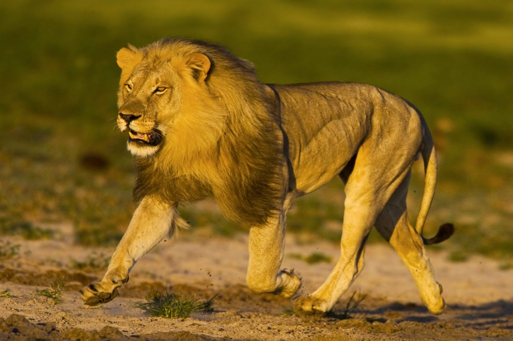 African lion running, Etosha National Park, Namibia : Stock Photo