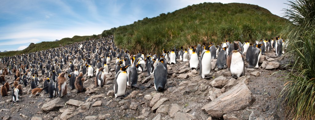 Stock Photo: 4402-4299 King Penguin breeding colony, Salisbury Plain, South Georgia, South Atlantic.
