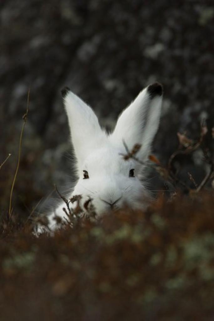 Arctic Hare, Denali National Park, Alaska : Stock Photo