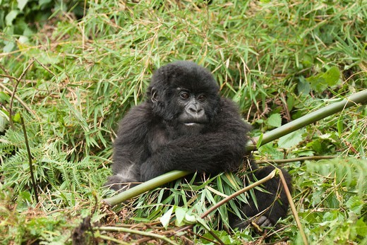 Mountain Gorilla baby, Volcanoes National Park, Rwanda : Stock Photo