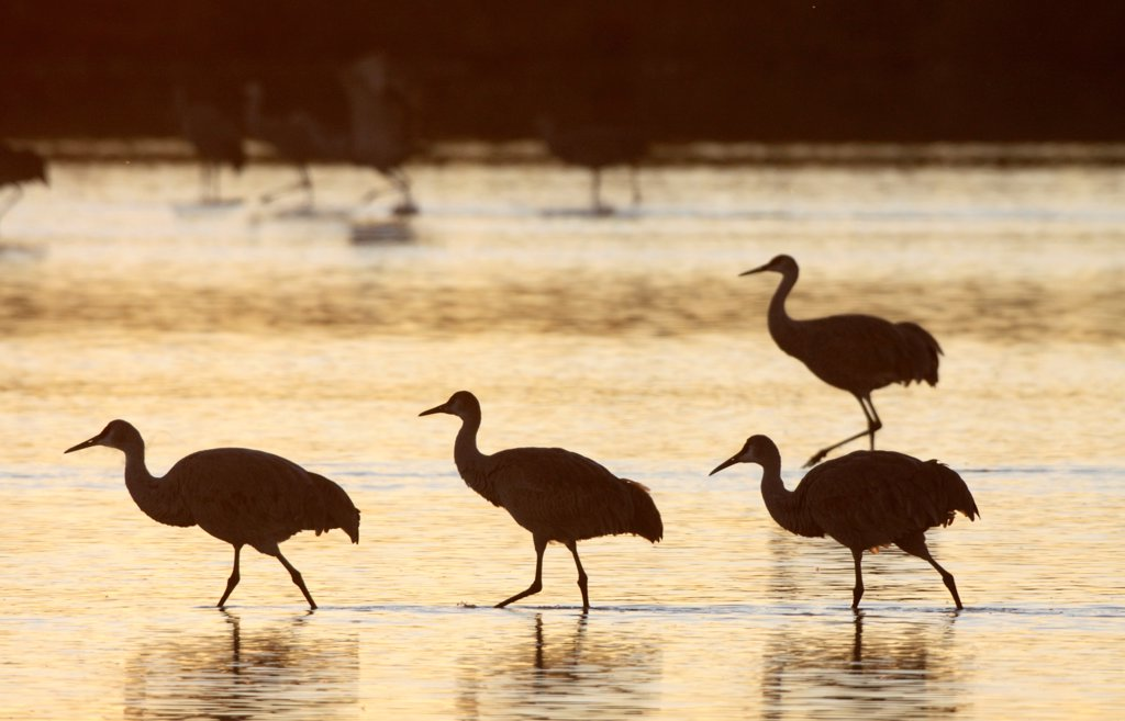 Stock Photo: 4402-4571 Sandhill cranes, Bosque del Apache, New Mexico, USA