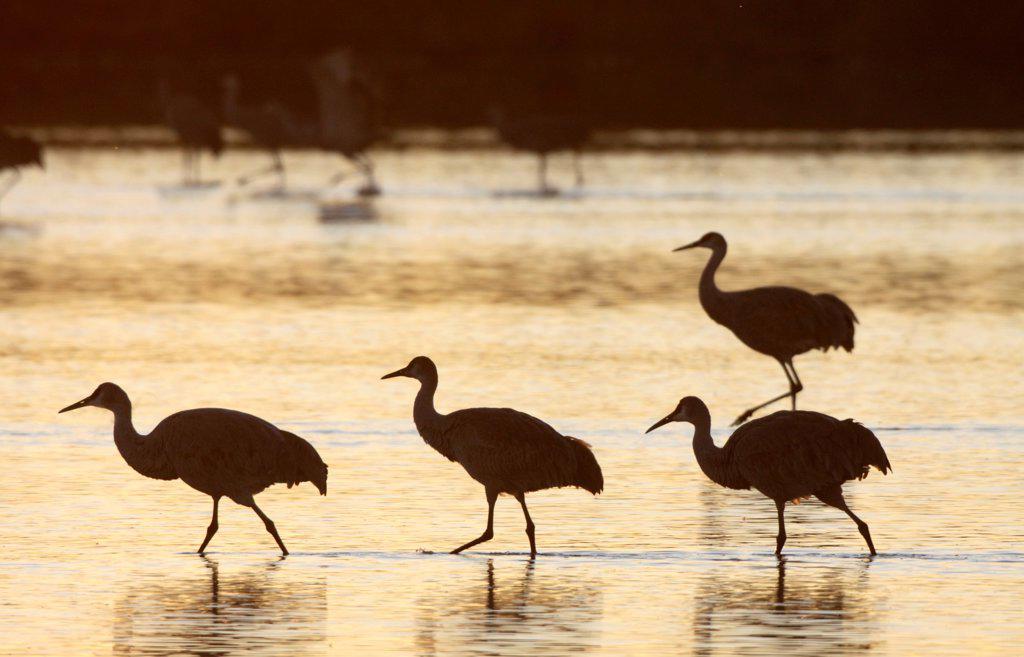 Sandhill cranes, Bosque del Apache, New Mexico, USA : Stock Photo
