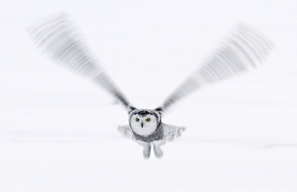Stock Photo: 4402-4644 Snowy Owl in flight, Ottawa, Canada