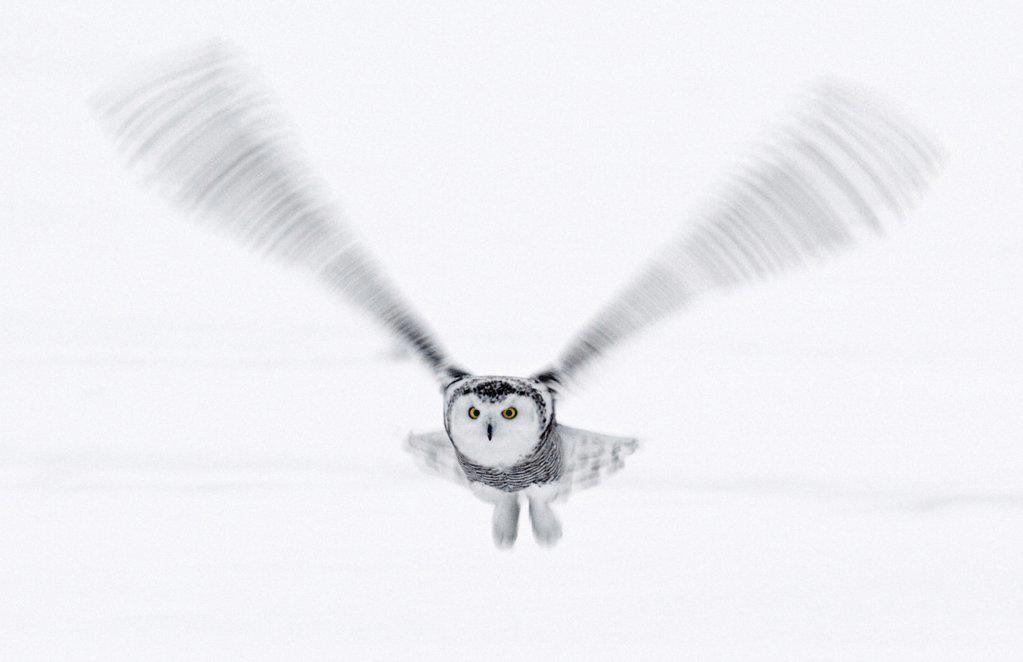 Snowy Owl in flight, Ottawa, Canada : Stock Photo