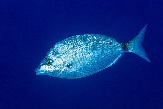 Stock Photo: 4402-5383 Sharpsnout seabream, Ist Island, Croatia, Adriatic Sea, Mediterranean