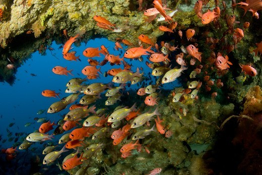 Shoal of Immaculate soldierfish and Striped large-eye bream, Maldives, Indian Ocean : Stock Photo