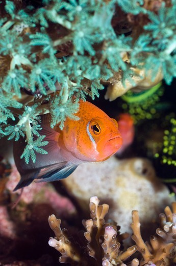Stock Photo: 4402-5853 Male Lyretail dottyback, Rinca, Komodo National Park, Indonesia.