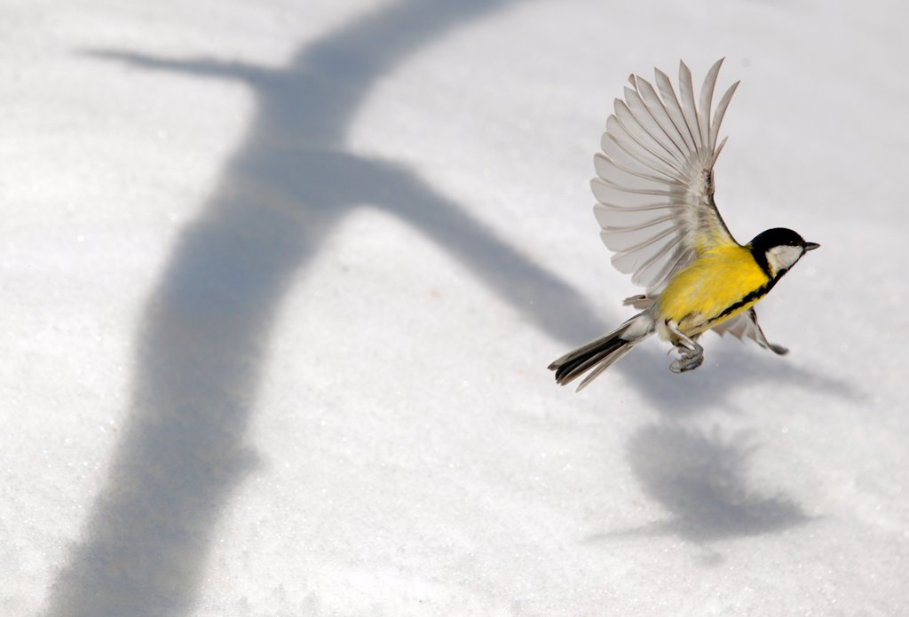 Great tit flying up over snow, and shadow from tree, March, Norway : Stock Photo