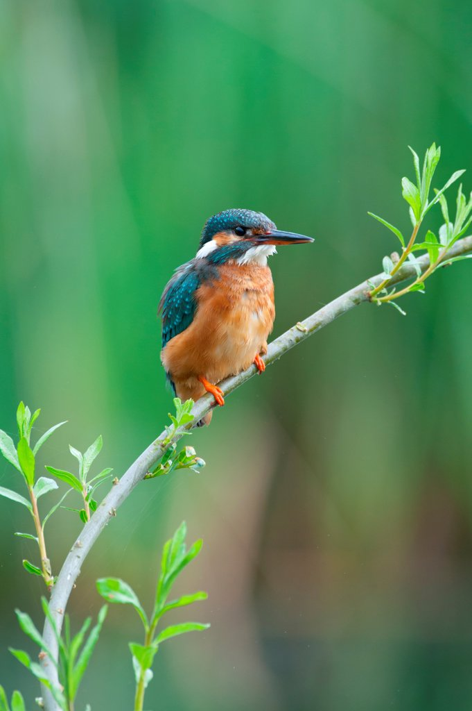 UK, England, Norfolk, Common Kingfisher (Alcedo athis) adult female on willow branch : Stock Photo