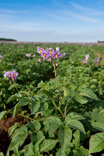 UK, Norfolk, field of Potato, Solanum tuberosum, in bloom : Stock Photo
