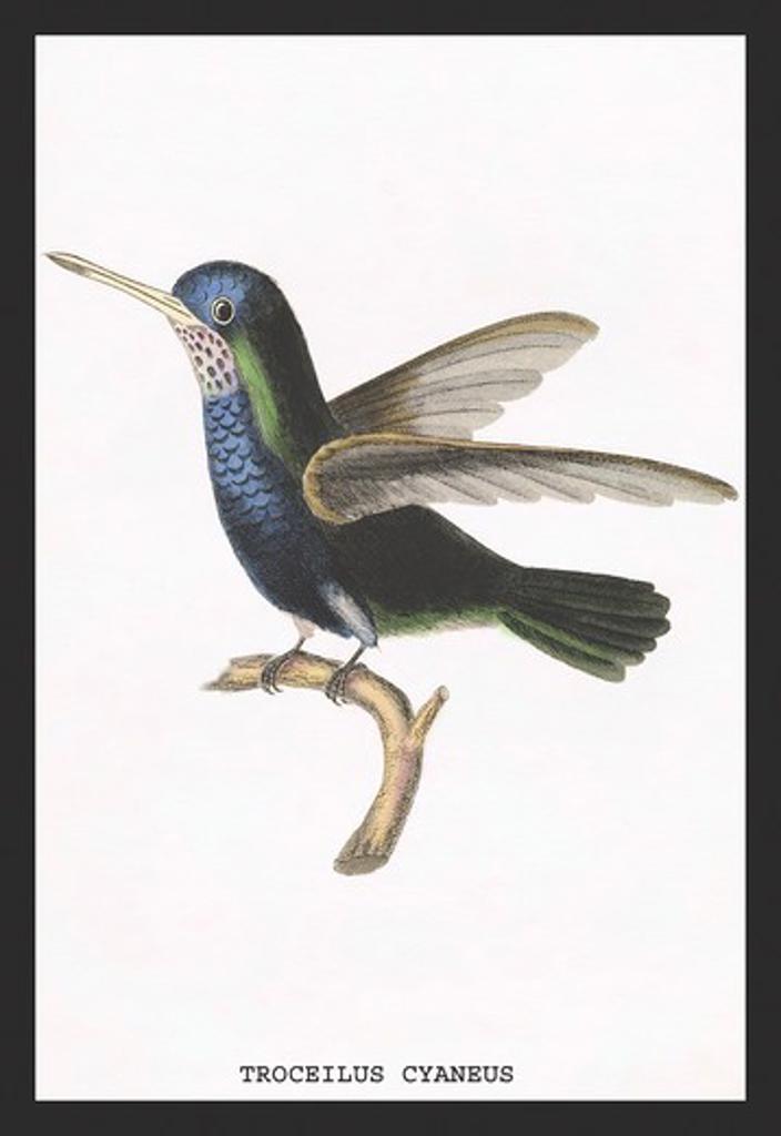 Stock Photo: 4408-11029 Hummingbird: Troceilus Cyaneus, Birds - Hummingbirds