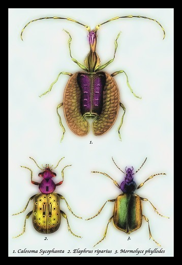 Stock Photo: 4408-11112 Beetles: Calosoma Sycophanta, Elaphrus Raperius et al. #1, Insects - General