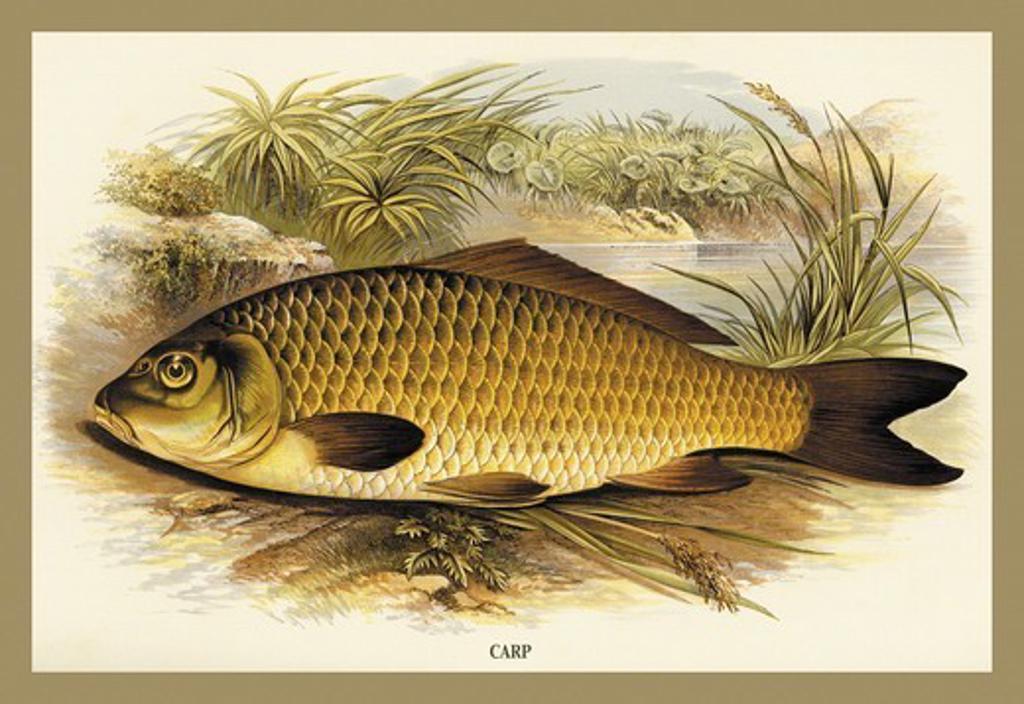 Carp, Fish & Fishing : Stock Photo