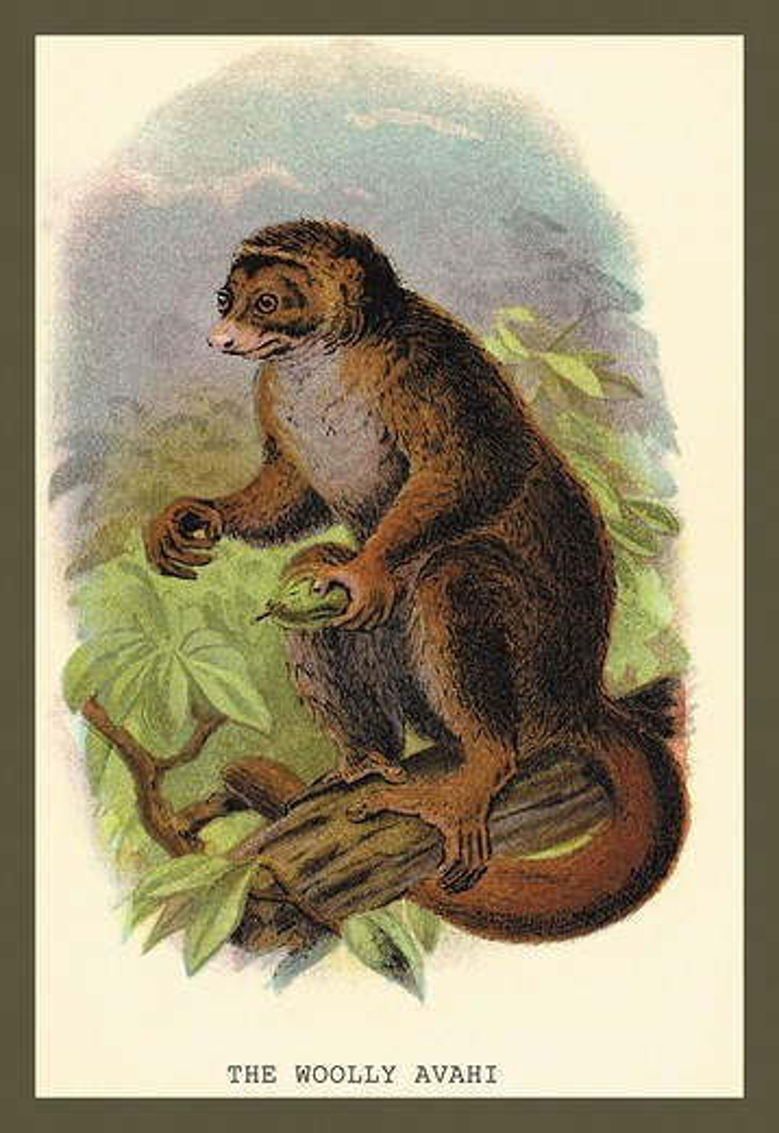 Stock Photo: 4408-11344 Wooly Avari, Naturalist Illustration - Jardine
