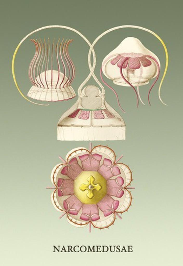 Stock Photo: 4408-11984 Jellyfish: Narcomedusae, Jelly Fish