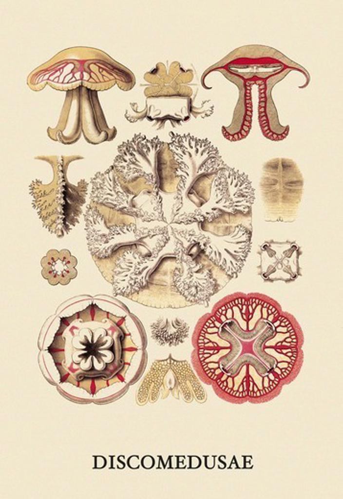 Stock Photo: 4408-12008 Jellyfish: Discomedusae #3, Jelly Fish