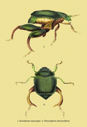 Stock Photo: 4408-12212 Beetles: Scarabaeus Macropus and Chrysophora Chrysochlora #2, Insects - Beetles
