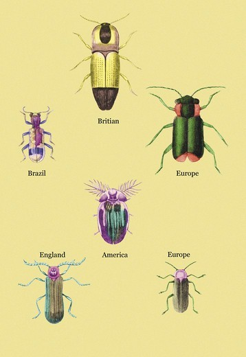 Stock Photo: 4408-12220 Beetles of America, Britain, Brazil, England and Europe #2, Insects - Beetles