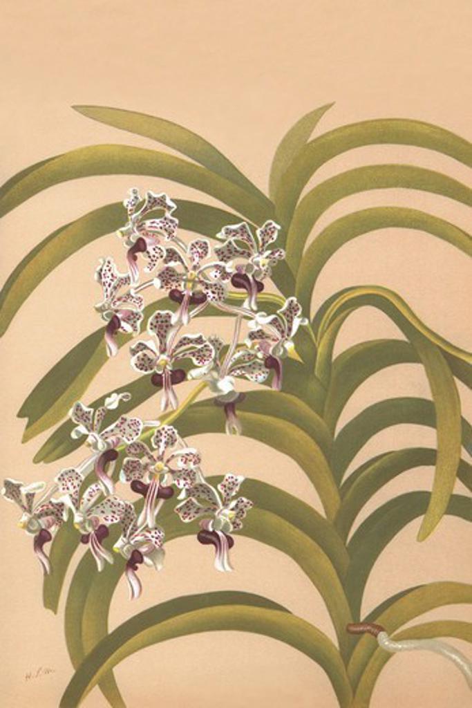 Vanda Suavis, Orchids : Stock Photo