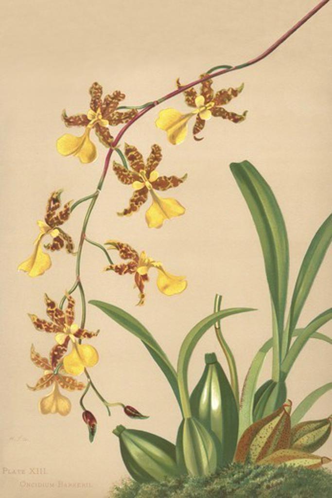 Stock Photo: 4408-16549 Oncidium Barker II, Orchids