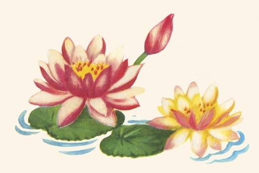 Stock Photo: 4408-16942 Water Lilies, Domestic Graphics