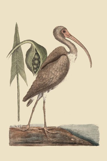 Stock Photo: 4408-18028 Brown Curlew, Exotic Birds