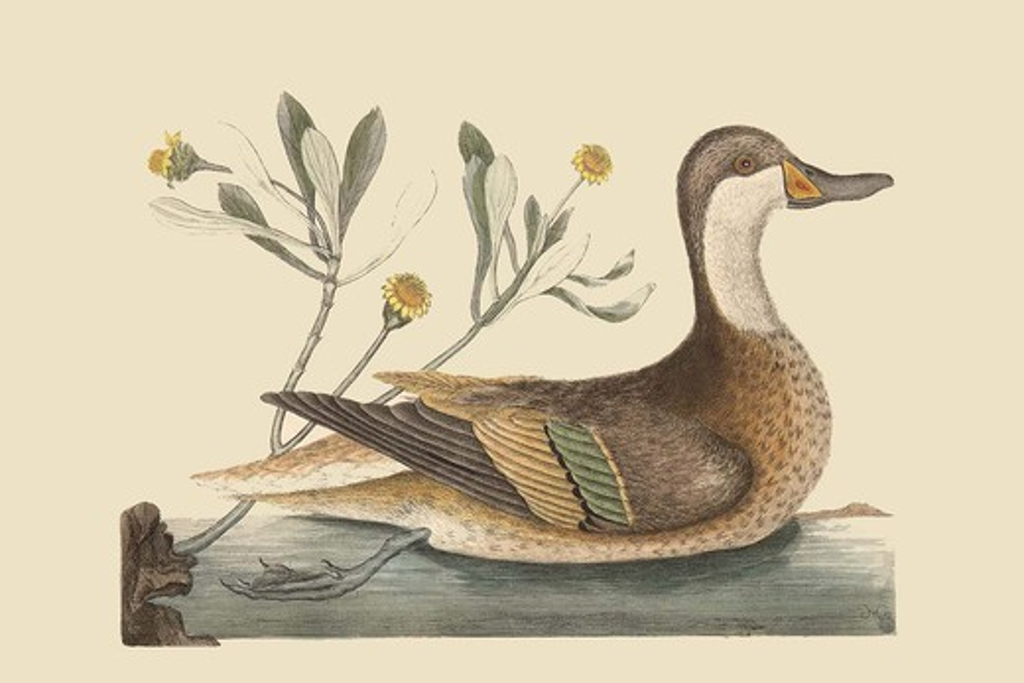 Bahama or Hathera Duck, Exotic Birds : Stock Photo