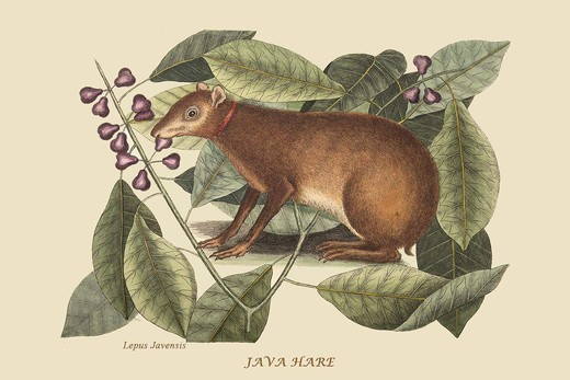 Stock Photo: 4408-18098 Java Hare, Mammals