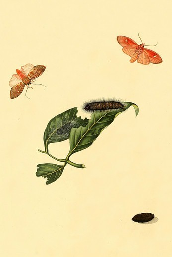 Stock Photo: 4408-18274 Surinam Butterflies, Moths & Caterpillars, Insects - Butterflies & Moths