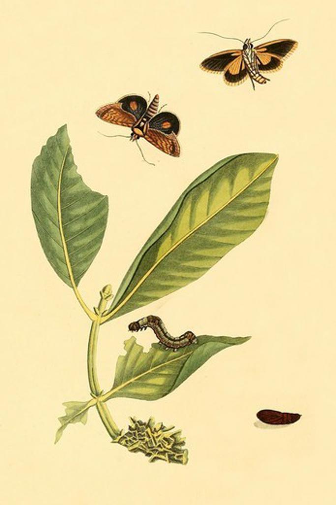 Stock Photo: 4408-18290 Surinam Butterflies, Moths & Caterpillars, Insects - Butterflies & Moths