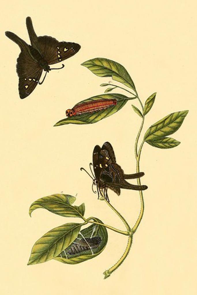 Stock Photo: 4408-18291 Surinam Butterflies, Moths & Caterpillars, Insects - Butterflies & Moths