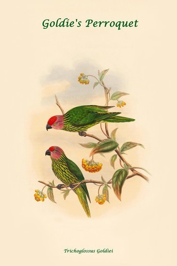 Stock Photo: 4408-19177 Trichoglossus Goldiei - Goldie's Perroquet, Exotic Birds