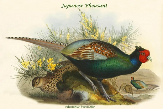Stock Photo: 4408-19228 Phasianus Versicolor Japanese Pheasant, Exotic Birds