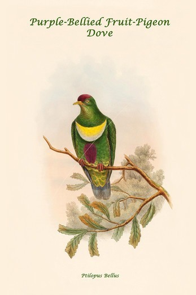 Stock Photo: 4408-19249 Ptilopus Bellus - Purple-Bellied Fruit-Pigeon - Dove, Exotic Birds